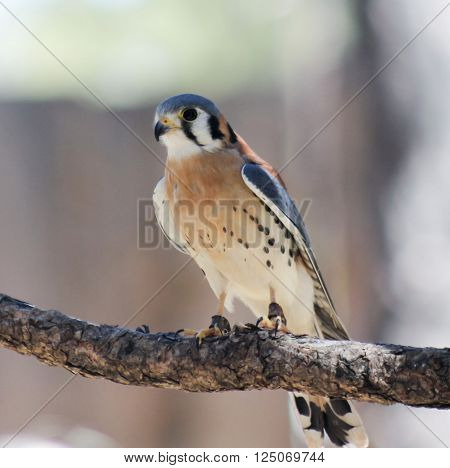A Perched American Kestrel Falco sparverius with Falconer's Jesses on Both Legs