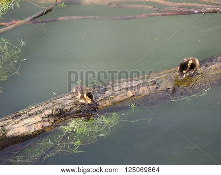 Baby Duck birds on a trunk floating in a river backwater