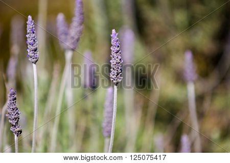 Lavender (lavandula Dentata)