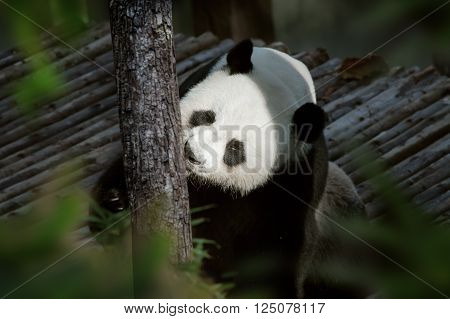 portrait of nice panda bear playing  in summer environment