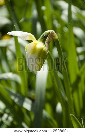 Bud of white daffodil begins to unfold
