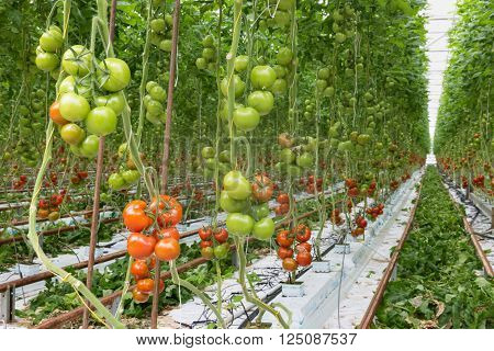 Tomatoes ripening in a big Dutch greenhouse
