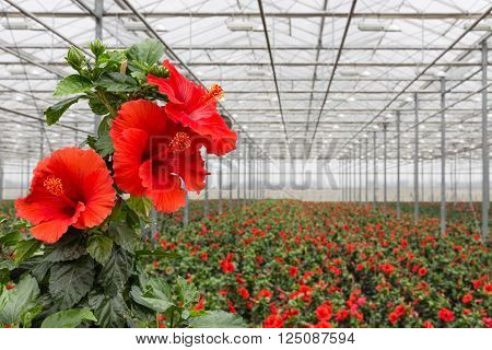 Hibiscus flowers growing in a big greenhouse