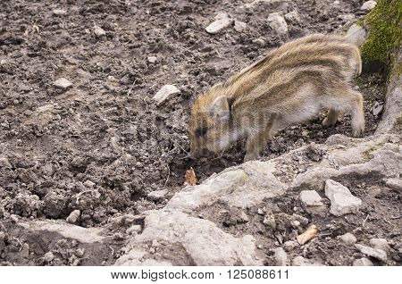 young boar fell asleep while standing. Germany.