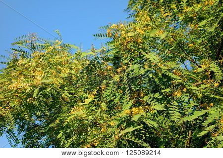 Acacia tree crown blooming with yellow flowers, Southern California