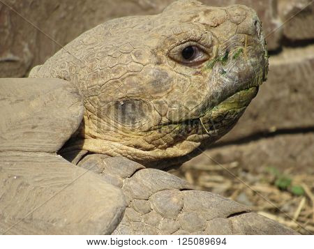 Close up view of large tortoise next to stone wall.