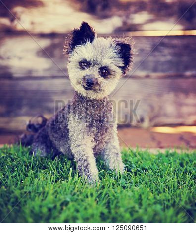 cute poodle chihuahua mix senior female dog sitting outside on green grass toned with a retro vintage instagram filter effect app action