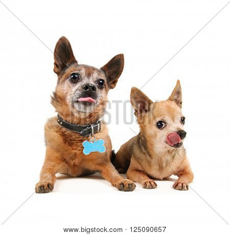 two small chihuahua dogs laying down and pouting with their tongues out isolated on a white background