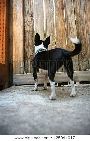 a chihuahua looking for her owner through a fence (focus on the head)