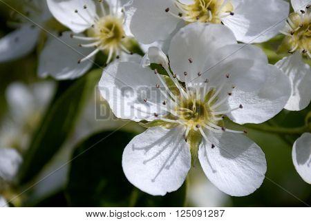 Sakura white flowers tree in early spring