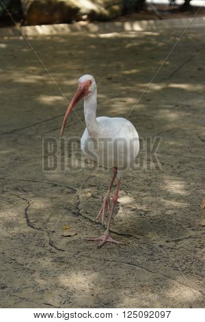 A large wading American White Ibis - Eudocimus albus
