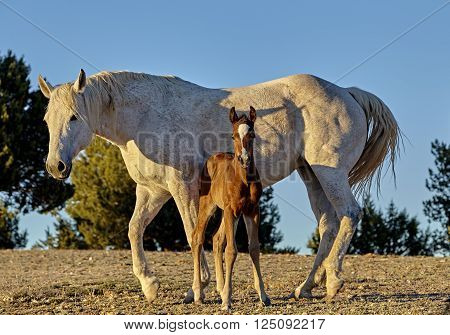 Foal Nursing From His Mother