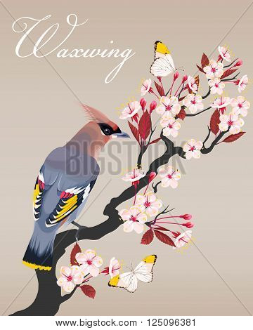 Vector illustration of waxwing on blooming cherry branch