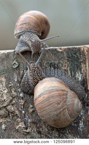 pair of garden snails on the wet wooden texture