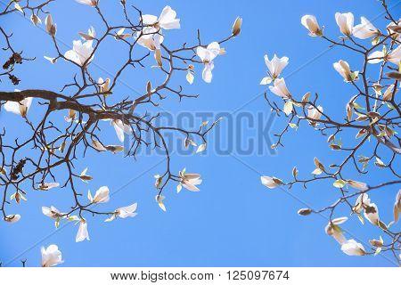 Pink Magnolia buds in spring, blue sky background.