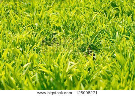 Background of a green grass. Green grass texture close-up