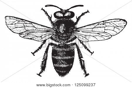 Honey bee, vintage engraved illustration. Industrial encyclopedia E.-O. Lami - 1875.