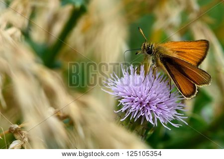 Essex skipper (Thymelicus lineola) nectaring on scabious. Distinctive butterfly in the family Hesperiidae, in a British calcareous grassland meadow