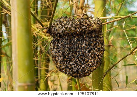 Beehive at bamboo forest wild bees building honeycomb