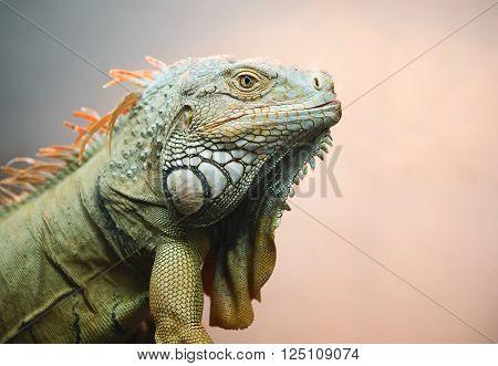 Iguana profile; large green iguana in a natural setting against