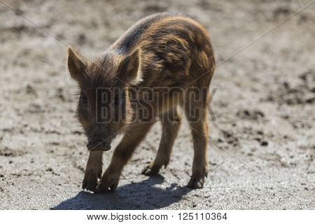 A lone baby boar in an early spring