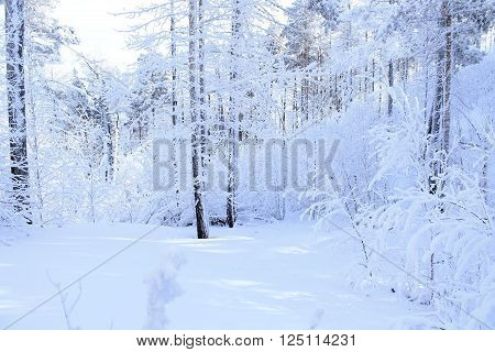 Frozen snow-covered Siberian forest. All the trees are covered with snow.