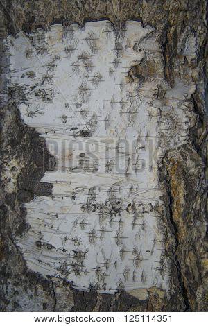 Textured background - birch bark. Photo of bark of old birch trees.
