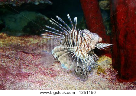 Drafgon-Fish, Pterois Volitans