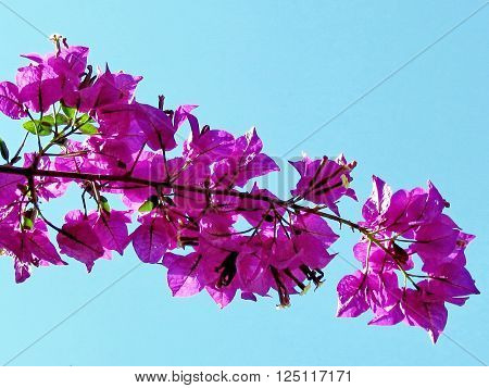Purple Bougainvillia branch in Edith Wolfson Park in Ramat Gan 22 May 2011 Israel