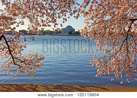 Thomas Jefferson Memorial framed in cherry flowers at Tidal Basin in Washington DC. Cherry blossom festival in US capital in spring.