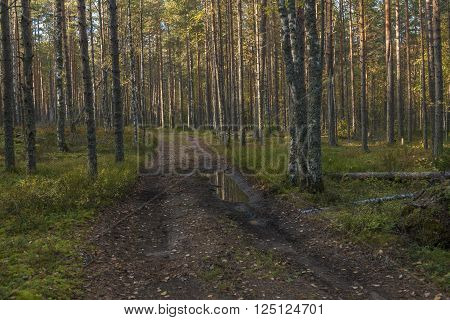 Path with puddles is going through the forest