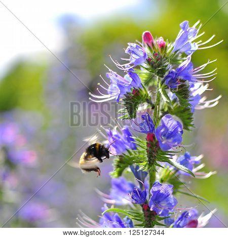 Bumblebee pollinating purple Viper's Bugloss. Medicinal herb. Echium vulgare.