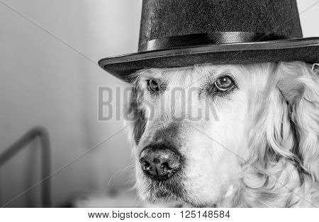Golden Retriever with a wedding hat on head