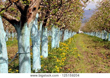 picture of a protected blooming apple trees in spring