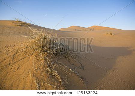Plants in sand dunes in Sahara desert, Merzouga, Morocco