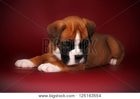 redhead cute puppy of breed boxer with white paws and muzzle lies and looks down  ** Note: Soft Focus at 100%, best at smaller sizes