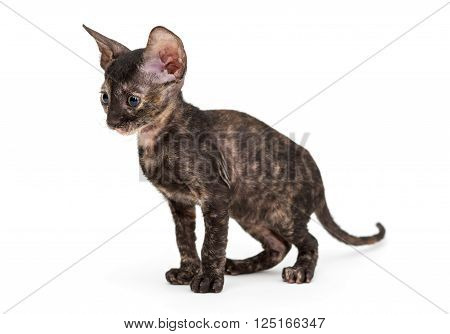 Small kitten Cornish Rex isolated on white