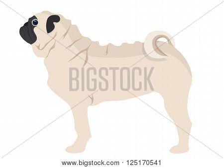Pug Puppy vector illustration. pug dog on white background