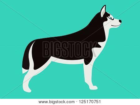 Siberian husky vector illustration. Isolated black and white Husky