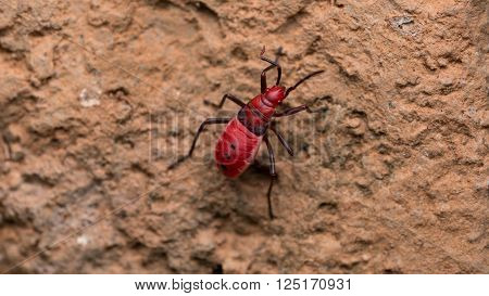 Red Cotton bug over the rock surface