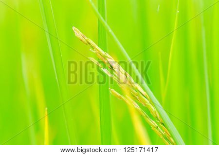 rice plant in the green paddy field