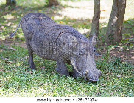 African common warthog grazing at his knees