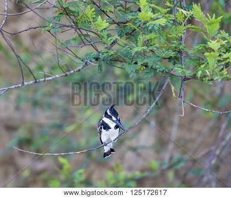 Small pied kingfisher sitting on a small tree branch in Murchison Falls National Park in Uganda, Africa