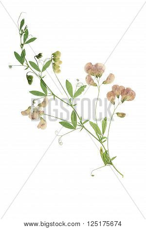Pressed and dried flower forest peas. Forest peas isolated on white background.