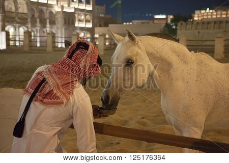 White Arabic thoroughbred horse hand feeding in Doha Qatar