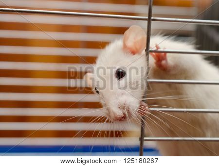 Funny white rat looking out of a cage (shallow DOF selective focus on the rat nose)