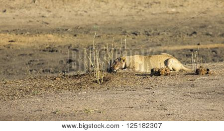 Lioness lying on sand in ambush looking alert for prey
