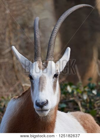 Closeup portrait of the Scimitar-horned oryx with vegetation in the background