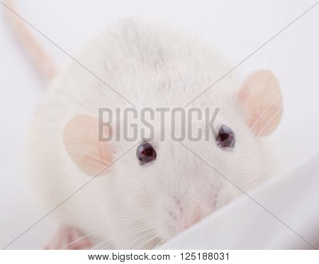 Funny big-eared white rat peeping over the edge (selective focus on the rat eyes)