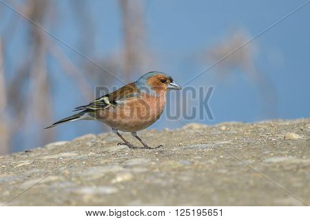 Common chaffinch.Close up of male against blue background.